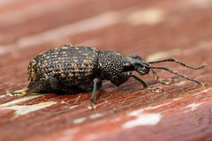 Vine Weevil, Garden, Warwickshire (Andy_Hartley) Tags: mygearandme rememberthatmomentlevel1