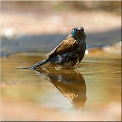 Bathing blue beauty [Explored] (Patrick Berden) Tags: southafrica bluebird bathing 2012 bluewaxbill kapama uraeginthusangolensis bluebreastedcordonbleu