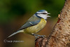 Singing Bluey (Nigel Dell) Tags: autumn birds flickr seasons wildlife places hampshire bluetit fsg ngdphotos
