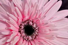 12-05-pink-gerbera (Paul Sibley) Tags: flower ngc photoaday nikond60 2012inphotos