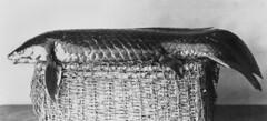 Anglų lietuvių žodynas. Žodis queensland lungfish reiškia kvinslendo lungfish lietuviškai.