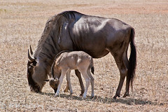Wildebeest and Calf (brad iscoo) Tags: nature fossil texas wildlife rim calf wildebeest