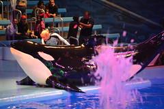 (Megakillerwhales) Tags: ocean dolphin ky dolphins whale whales orca oceans seaworld takara killerwhale unna orcas kyuquot killerwhales orcawhales cetaceans cetacean seaworldsanantonio sakari orcawhale seaworldtexas oneocean tuar nalanidreamer megakillerwhales