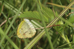 Little Yellow - Eurema lisa - Manatee County, Florida, USA - July 11, 2016 (mango verde) Tags: littleyellow euremalisa pieridae whitessulphursyellows eurema lisa butterfly yellow duettepreserve manateecounty florida usa