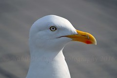 Birds : herring/common gull (Nabil Molinari Photography) Tags: birds herringcommon gull