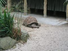 Aldabra Tortoise - Sydney Day 4 - Toronga Zoo (gttexas) Tags: 2009 australia cruise starprincess sydney tarongazoo