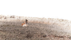 Repose (VFR Photography) Tags: male grass animal animals native wildlife northdakota nd antelope grasses badlands buck grassland bucks grasslands indigenous herbivore medora pronghorn greatplains pronghorns trotters johnsonranch antilocapraamericana northernplains antilocapridae goldenvalleycounty peacegardenstate sentinelbutte giraffoidea