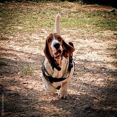 Basset Ball (PHOTOSORIANO) Tags: basset hound dog animals pets fuji x10