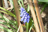Wildbiene (Der Felsberg) Tags: biene bienen hyazinthe nikon d5200 makro makros macro outdoor flower bee wildbienen wildbiene