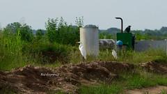Katy Prairie ! (backup1940) Tags: sony backup1940 katyprairie texas egrets snowyegret