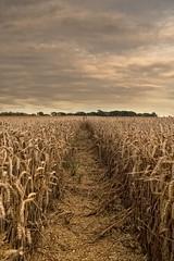 HARVEST LINE (mark_rutley) Tags: fareham hampshire harvest farm farming barley wheat crops sky clouds line ears leadingline