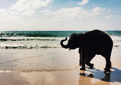 A happy baby elephant enjoying in beach with out any restrictions. #Happylife (Captured by Bachi) Tags: iphoneclicks apple iphone thailandtourism thai phuket thailand tourism tourist traveller travel lovelife animallover animal instagram flickr natgeochannel natgeo wildlife babyelephant elephants elephant baby new me happylife