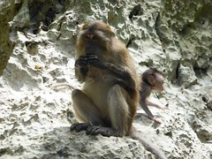 Koh Panak (Sea Kayaking), Thailand (Jan-2016) 21-105 (MistyTree Adventures) Tags: kohpanak kohpanakisland aophangnganationalpark seasia thailand phuket panasoniclumix outdoor phangngabay limestone animal monkey macaque macaquemonkey