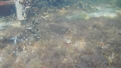 Flatfish. Underwater Ribersborg (Alenius) Tags: underwater under water ocean snorkling snorkelling snorkeling dive diving resund malm sweden skne tng sea snorkla sverige undervatten vatten hav havet dyk dyka nikon coolpix aw130 video film filming movie plattfisk fisk fish