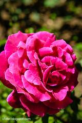 Aya Sofya5-0467rw (Luciana Adriyanto) Tags: travel turkey istanbul museum ayasofya hagiasofia flowers v1olet lucianaadriyanto