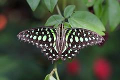 Butterfly w/ Striking Green Markings (JasonAaronAZ) Tags: butterfly insect fauna macro nature beautiful green