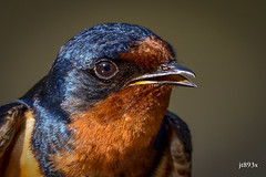 Barn Swallow (jt893x) Tags: 150600mm barnswallow bird d500 hirundorustica jt893x male nikon nikond500 portrait sigma sigma150600mmf563dgoshsms swallow specanimal