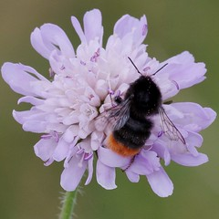 IMGP5420  Bee on Scabious, Devil's Dyke (Reach, Cambs), July 2016 (bobchappell55) Tags: insect bee devilsdyke cambridgeshire grassland scabious redtailed bumble