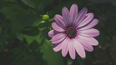 Catching sunshine 2 (SH.master) Tags: pink garden stilllife leaves green macro closeup orange beautiful dof