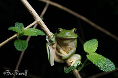 Litoria chloris (benrevell86) Tags: frog southernorangeeyedtreefrog litoria litoriachloris