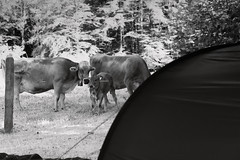 visitors (pat.netwalk) Tags: camping outdoor cows visitors abstract tent copyrightpatrickfrank