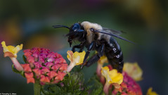 BUMBLEBEE (GENUS BOMBUS) (allentimothy1947) Tags: bostongardens ma bees boston bubblebees flowers macro ringlight