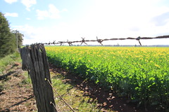 Barbed Wire Fence (BattysGambit) Tags: australia country central ne north east winter late flowers victoria canon dsl eos 7d no filter nofilter spring clear sky blue 2016 dookie tatura gouldburn valley murray canola agriculture barbed wire fence fields