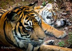 More sleepiness (JKmedia) Tags: tiger bigcat pantheratigris boultonphotography canoneos7dmarkii paigntonzoo 2016 newborn cub stripy stripes ear