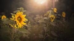 Wild and free (PixTuner) Tags: pixtuner sunflower sunflowers sonnenblume sonnenuntergang sunset dof bokeh