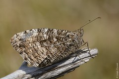 Grayling, Hipparchia semele (Nature Exposed) Tags: grayling butterfly butterflies butterflyphotography butterflyconservation lepidoptera insects insect sussex sussexbirding sussexbirders sussexwildlife eastsussex leighprevost leighprevostphotography