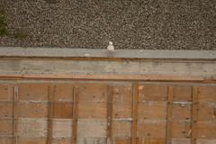 Glaucous-winged Gull (Larus glaucescens) (ekroc101) Tags: birds glaucouswingedgull larusglaucescens bc vancouver coalharbour borisdoris