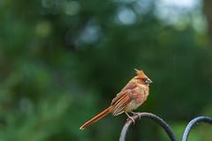 rainy day girl (jimmy_racoon) Tags: 70200 f4l is canon 5d mk2 birds cardinal nature rain 70200f4lis canon5dmk2
