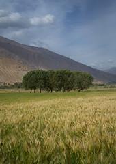 Farm field, Badakhshan province, Qazi deh, Afghanistan (Eric Lafforgue) Tags: afghan410 afghanistan agriculture badakhshanprovince centralasia colourimage nopeople nobody outdoors pamir photography qazideh ruralscene tranquilscene tree vertical wakhan