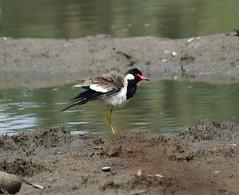 Red wattled Lapwing (sreejithkallethu) Tags: redwattledlapwing birdsofkerala nature kandachira kollam kerala
