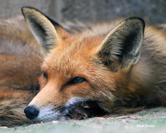 AN9A1410a1 (Mark Strain.) Tags: vulpes red fox animal dog mark strain nature baytreeowlcentre