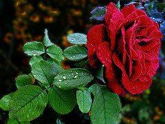 DSCI2467-111 (m.sudarevic) Tags: red flowers raindrops morningdew