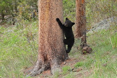 No bigger than (Hammerchewer) Tags: blackbear cub wildlife outdoor yellowstone