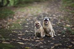 Birty and Tilly (birtylockett) Tags: pet knyperselypool woodland woods animal pugcross pugs pug dogs dog pair