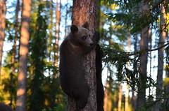 Konsta Punkka: Busy bears climbing trees (I Am Nikon Europe) Tags: treeclimbing bear wildlife konstapunkka finland naturephotography