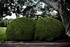 Telephoto Topiary (Kent Johnson) Tags: 1600logoadjseretf5101 fujifilmxpro1 xf35mmf14r securitycameras governmenthouse royalbotanicgardens sydney botanicgardens green hedges