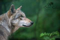 Wolf_5646 (Simone Schloen ☞ www.bilderimkopf.de) Tags: wolf wölfe wolfsgehege wolfscenterverden simoneschloen canon53