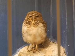 Burrowing owl (Nemoleon) Tags: washingtonzoo september 2016 burrowingowl athenecuniculari dscn3142