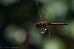 Darter in flight (jasonmgabriel) Tags: common darter fly dragonfly flight insect macro