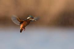 DSC_9020_01 (gerald2231) Tags: bird vogel eisvogel
