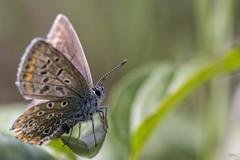 23 09 2016 Argus bleu nacr Lysandra coridon (rjp62126) Tags: 2016 90f28spvcusddi canon canon6d argus argusbleu faune flore macro macrophotographie macrophotography papillon tamron