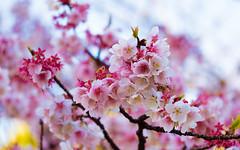 Sakura (Early Spring) (david.ow) Tags: abundance bloom em5ii flowers japan life nature olympus pink plants renewal sakura spring tokyo ueno vitality
