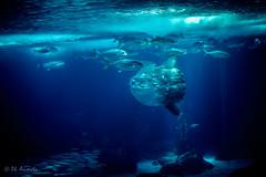Moon Fish & Friends - Oceanario Lisbona (antoniosimula) Tags: oceanario lisbon lisbona lisboa portogallo portugal area expo fish flora fauna nikon d3200 35mm 70300 tamaron ocean species pacific atlantic indian