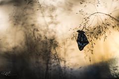 Petit Nacr (Issoria lathonia) (hick_patrice) Tags: buterfly nature macro