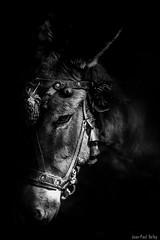 The Mule (JP Defay) Tags: mule mulet animal lowkey portrait fondnoir monochrome blackwhitephotos blackandwhite black noiretblanc noir n
