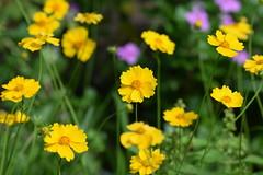 DSC_0021 (Kelson Souza) Tags: flor primavera flower flowers natureza beleza jardim jardinagem garden gardens colorido floricultura petalas ptalas florescer flores margarida margaridas